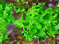 Salad plant Royalty Free Stock Photo