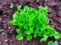 stock image of  Salad plants in open ground in vegetable garden. Growing salad in kitchen-garden. Closeup