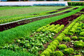 Salad rows on a farm Stock Photo