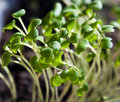 Salad sprouts Stock Images