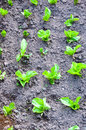 Salads field in garden organics growing Stock Photo
