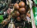 Salak tree Salacca zalacca sweet variety fruit