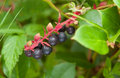 Salal berries gaultheria shallon ripening edible native to western north america Royalty Free Stock Photos