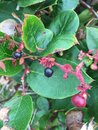 Salal berry Royalty Free Stock Photo