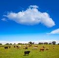 Salamanca grassland cows cattle in Dehesa Royalty Free Stock Photo