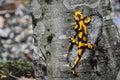 The salamander. Royalty Free Stock Photos