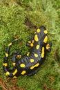 Salamander beautiful tailed on moss Stock Images
