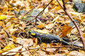 Salamander crawling on fallen autumn leaves Royalty Free Stock Images