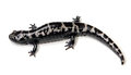 Salamander marbled ambystoma opacum on a white background Stock Photo
