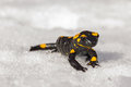 Salamander on the snow in late winter Royalty Free Stock Photography