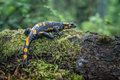 Salamander spotted in carpathian mountains Royalty Free Stock Photo
