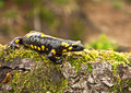Salamander spotted fire in the forest Stock Image