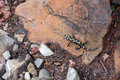 Salamander on the stone in forest Royalty Free Stock Photography