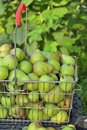 Sale pears in basket on market Royalty Free Stock Photo