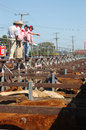 Sale in progress auctioneer calls out prices for beef cattle at saleyards circa toowoomba queensland australia Stock Photos