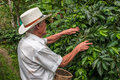 Salento zona cafeteria colombia november old farmer har harvesting coffee beans on in Stock Photos