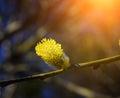 Salix caprea. Goat willow in spring.