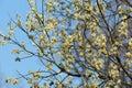 Salix, Willow, sallow, osier Royalty Free Stock Image