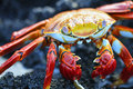 Sally Light-foot Crab Stock Photography