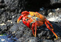 Sally Lightfoot Crab Royalty Free Stock Photo