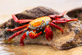 Sally lightfoot crab feeding on Chinese Hat island, Galapagos Na Royalty Free Stock Photo