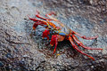 Sally lightfoot crab on Galapagos Royalty Free Stock Image