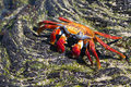 Sally Lightfoot Crab Scurries ...