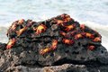 Sally Lightfoot Crabs, Galapagos Stock Image