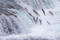 Salmon jumping up the falls brooks at katmai national park alaska Royalty Free Stock Photos