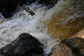 Salmon leap a jumping at the on the river finn co donegal ireland Royalty Free Stock Photo