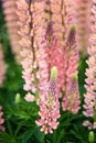Salmon pink wild lupin flower, closeup. Royalty Free Stock Photo