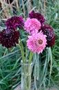 Salmon Queen Black Pompom Black Knight pincushion flower bouquet grass background Royalty Free Stock Photo