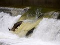 Salmon run Royalty Free Stock Photo