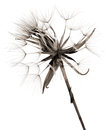 Salsify autumnal seedhead, monochrome Royalty Free Stock Photo