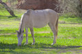 Salt river wild horse grazing a near the in arizona Stock Images