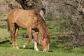 Salt river wild horse grazing near the in arizona Royalty Free Stock Photo