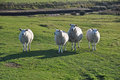 Saltmarsh Sheep On Northam Bur...