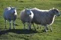 Saltmarsh Sheep On Northam Bur...