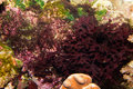 Saltwater Aquarium Red Vegetation Stock Image