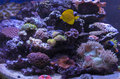 Saltwater coral reef with fish anemones and many corals Royalty Free Stock Photo