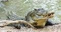 Saltwater Crocodile in Australia Royalty Free Stock Photo