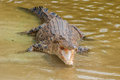Saltwater crocodile in captivity group Royalty Free Stock Photography
