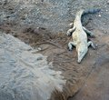 Saltwater crocodile a large sunbathing near the río tarcoles in costa rica Stock Images