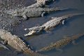 Saltwater crocodiles a group of sunbathing in the río tarcoles in costa rica with one propping its mouth open Royalty Free Stock Photo