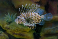 Saltwater lion fish flashing his fins Royalty Free Stock Image