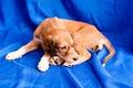 Saluki pup Royalty Free Stock Photography
