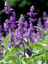 Salvia Royalty Free Stock Photos