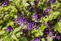 Salvia Amistad Royalty Free Stock Photo