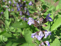 Salvia flowering plants of sage in the garden in spring close up Stock Photo