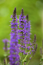 Salvia in the garden Royalty Free Stock Images